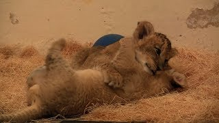 Maryland Zoo Lion Cubs (5 weeks old)