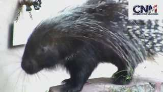 African Crested Porcupine Moving Around and Checking Things Out
