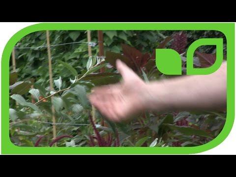 Führung mit dem Obstzüchter Markus Kobelt durch den Ippenburger Küchengarten: Pünktchenbeere