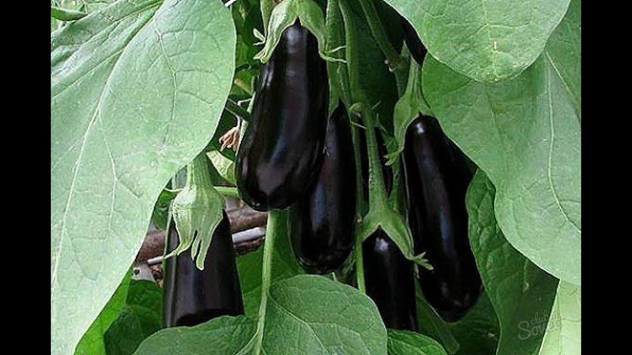 Посадка и выращивание баклажанов в теплице 13