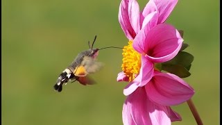 butterfly like a hummingbird flying