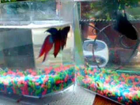 Giant girl betta fish and her little guy youtube for Largest betta fish