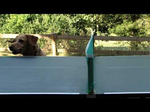 Perros - Perro mirando el tenis de mesa