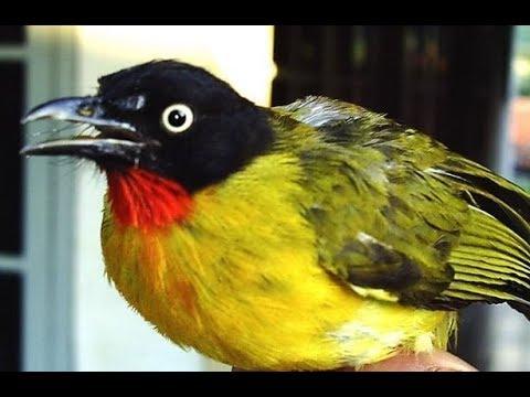 burung kutilang emas gacor  buat denak......untuk pikat