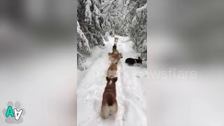 Cute Corgi Puppies Have Fun Tumbling Through Snow in Russia