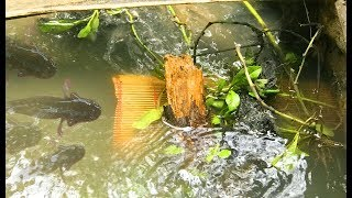 Đặt Lợp Bắt Cá Bóng Dừa Và Cái Kết Bất Ngờ   |  MTTL Tập 26