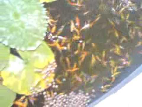6cmin videolike for Koi fry for sale