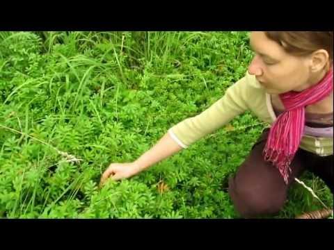 Dietlinds Kleiner Kräuterkurs - Kräutergarten - Wildkräuter Sammeln In MV