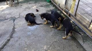 Gsd puppies playing