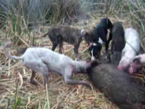 caza de jabali con jauria en Monte Hermoso en la prov de Buenos Aires