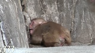 Baby monkey to call mom crying