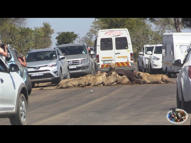 Massive Lion Sightings Roadblocks. A Compelation