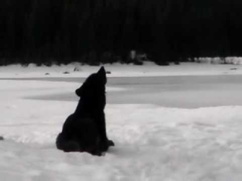 Wolf Howl video