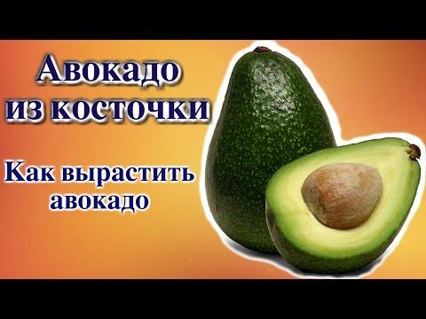 как вырастить авокадо из видео