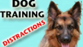Dog Training Tutorial - DISTRACTIONS (Part 1)