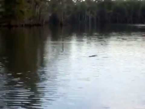 Following a Gator on the Calcasieu River