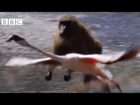 Earthflight (Winged Planet) - Killer Baboons Hunt Flamingos (Narrated by David Tennant)