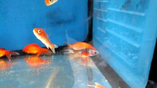 Walmart fish tanks youtube for Does walmart sell fish