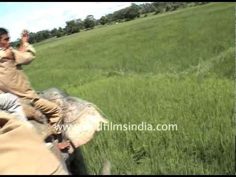 This is THE famous Tiger Attack video! A tiger attacked forest rangers in Kaziranga National Park, India, in 2004. This is the story of what actually happene...