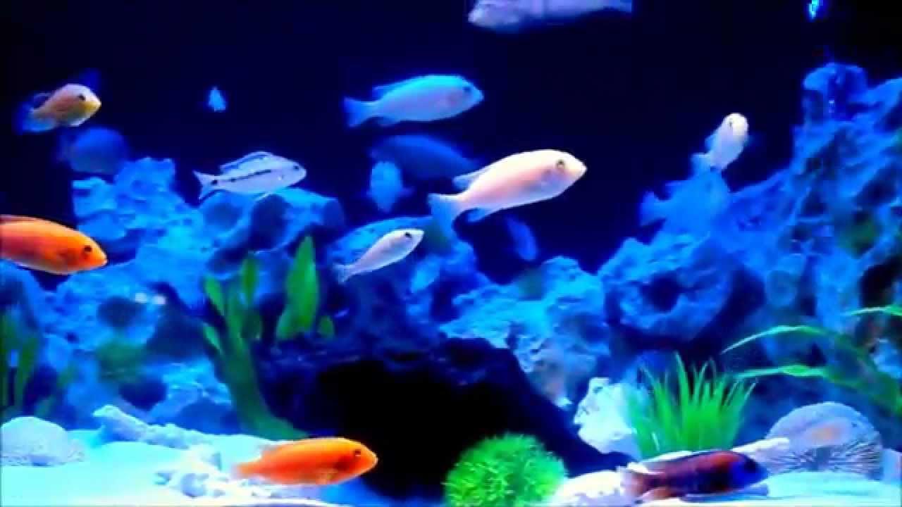 malawi aquarium 500l mit led beleuchtung youtube. Black Bedroom Furniture Sets. Home Design Ideas