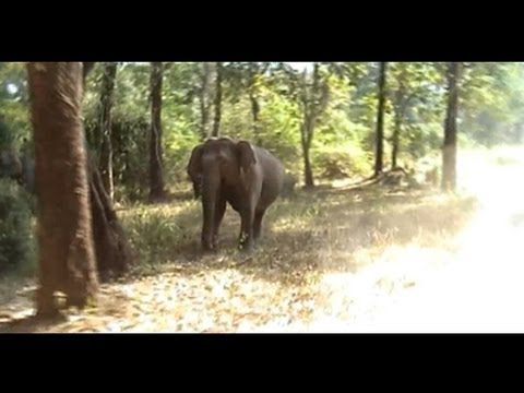 Elephant Attack at Tholpetty Wildlife Sanctuary - Jungle Safari Wayanad Kerala India
