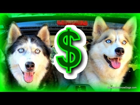 how much does a purebred husky cost