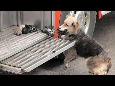 INSTINTO DE PROTECCION ANIMAL. Perro salva a 5 cachorros en un incendio