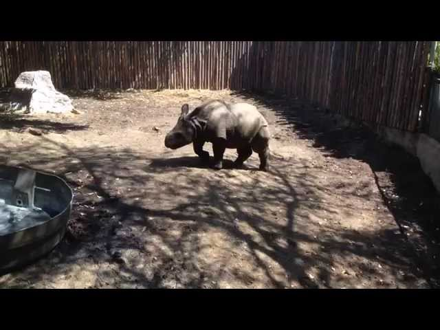 [Baby Rhino - Endangered Black Species 1080 Dpi] Video