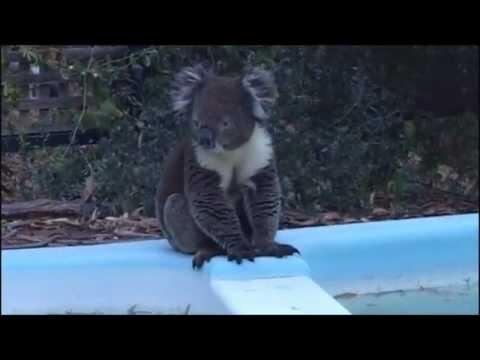 Australian Koala (CUTE!)