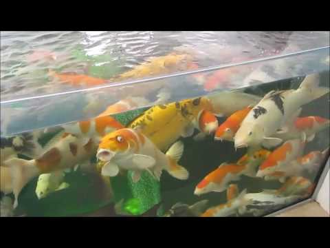 Understanding koi pond filters and what filters work best together Nexus. drums and bakki showers