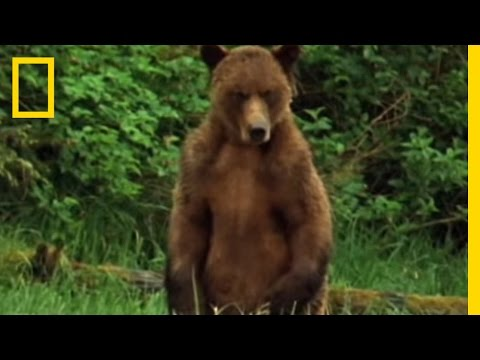 Alaska Brown Bear Trapped