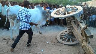 Devibetta bulls pradarshana