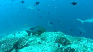 Maldives.Diving.Sharks