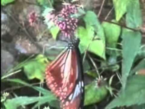 【陽明山國家公園管理處】六足王國-青斑蝶