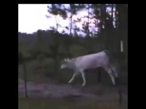 Cows Running Away Guy Running Away From Baby