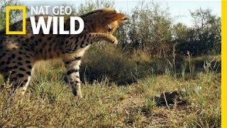 Serval vs. Snake | South Africa