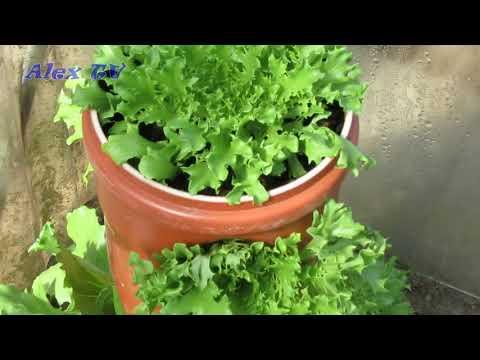 Salat Pflanzen im vertikale Garten .