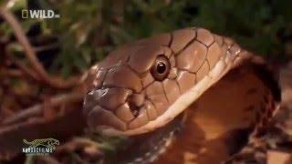 Thế giới động vật bí ẩn rừng xanh Hổ Mang Bành   Vua của loài rắn  Thuyết minh