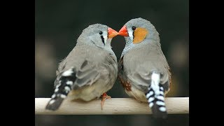 Zebra Finches Singing and getting ready to build a nest HD