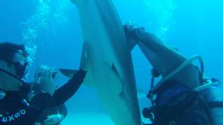 [How to hypnotise a deadly shark] Video
