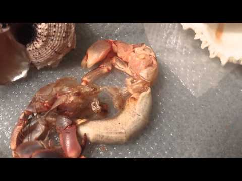 Hermit Crab Out of Shell Molting Hermit Crab Molting