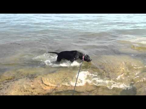 Pointer Pit-bull Mix Swimming Pit-bull Pointer Swimming At Lake video