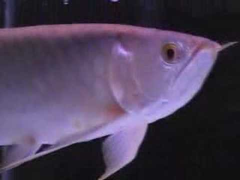 goldfish tank mates. Tank-Mates: 13quot; Zebra Tiger