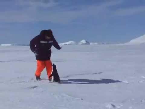 Pinguinos - Pinguino atacando gracioso