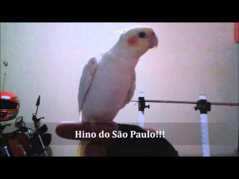 Calopsita Cantando Várias Músicas: Hino Do São Paulo, Hino Nacional, Família Adams!!! video