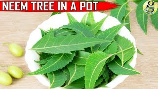 NEEM TREE IN POT: CARE and GROWTH TIPS on Neem Plant at Home