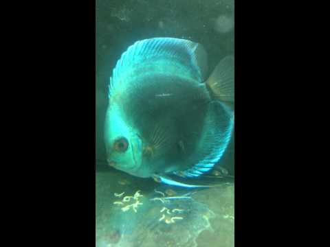 Half Moon Blue Diamond Discus Breeding Blue Diamond Discus