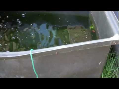 First Cull of Koi Fry 07 09 2012