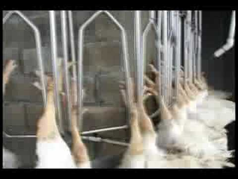 Killing of Chicken at a poultry plant Video