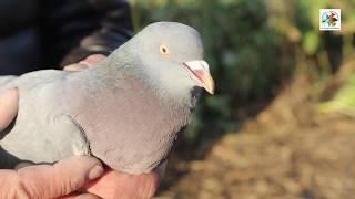 Chasse du pigeon au poste